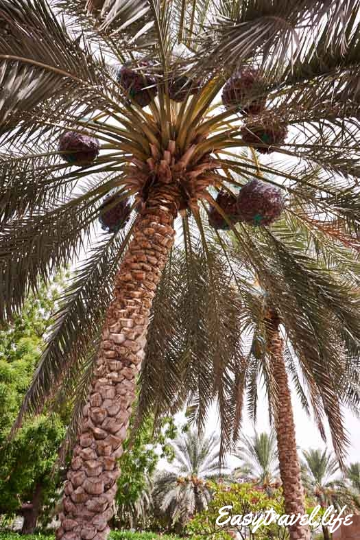 palm al-ain oasis